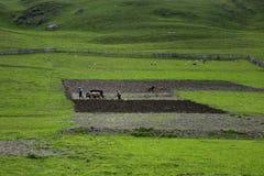 Redaktörs- fotobönder som plogar jordningen på tjurar, byn av Ushguli, Georgia royaltyfria bilder