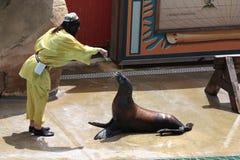 redaktörs- lion som utför havsbruk zoomarine8 Fotografering för Bildbyråer