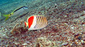 Redback Butterflyfish (Chaedodon paucifasciatus) Royalty Free Stock Photos