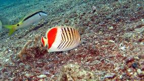 Redback Butterflyfish (paucifasciatus Chaedodon) royalty-vrije stock foto's