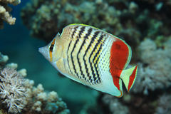 Redback butterflyfish Royalty Free Stock Images