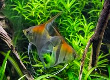 Redback moonfishes swimming together in the water, a tropical fish pet from Rio Manacapuru royalty free stock image