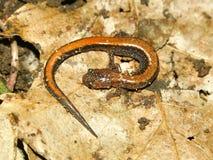 Redback Salamander (Plethodon cinereus) Stock Image