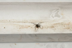 Redback Spider - Australia Royalty Free Stock Images