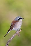 Redbacked shrike. Male; lanius collurio; South Africa Stock Photos