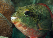 Redband Parrotfish Stock Photo