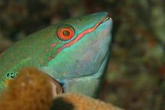 Redband Parrotfish (Sparisoma aurofrenatum) - Roat Royalty Free Stock Images