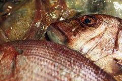 Redbanded-seabrem (Pagrus Auriga) Stockfotos