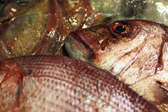 Redbanded seabrem (Pagrusaurigaen) arkivfoton