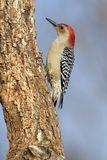 Redbellied Woodpecker (Melanerpes carolinus) Royalty Free Stock Photography
