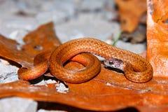 Redbelly Snake (Storeria occipitomaculata) Stock Photography