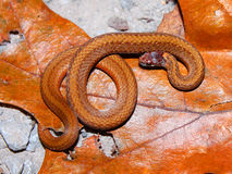 Redbelly Snake (Storeria occipitomaculata) Stock Image