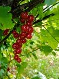Redberries royaltyfri fotografi