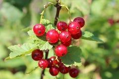 Redberries Στοκ Φωτογραφίες