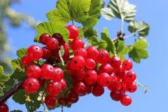 Redberries Στοκ Φωτογραφία