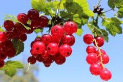 Redberries Στοκ Εικόνες