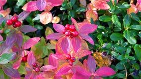 Redberries Imagenes de archivo