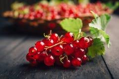 Redberries, uva passa, fresca, ancora sul ramo, più in un fondo Fotografia Stock