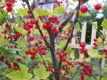 Redberry on the boundary at the summerhouse Royalty Free Stock Image