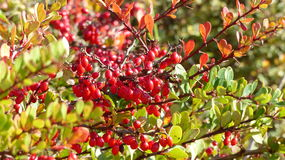 Lingonberry plant Royalty Free Stock Photography
