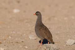 Redbilled Francolin In The Desert Royalty Free Stock Images