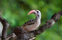 Redbilled-Hornbill. At wildlife sanctuary Royalty Free Stock Photos