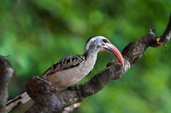 Redbilled Hornbill. In wildlife sanctuary Royalty Free Stock Photo
