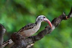 Redbilled Hornbill Royalty Free Stock Photo