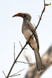 Redbilled Hornbill - Namibia Stock Photo