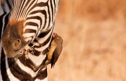Redbilled-oxpecker, das auf Zebra \ 's-Stutzen pecking ist stockfoto