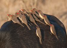 Redbilled oxpecker flock. Uncommon localised resident. Red bill. Larger yellow eye-wattle. Greyish back and wings. Lighter venter. Normally associate with Stock Images
