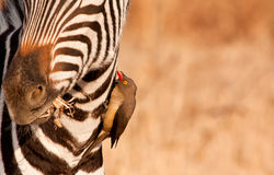 Redbilled-oxpecker pecking on zebra\'s neck Stock Photo