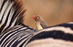 Redbilled-oxpecker sitting on zebra\'s back Stock Image