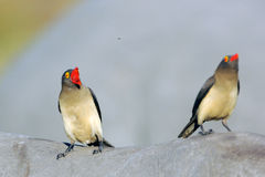 Redbilled oxpeckers Stock Images