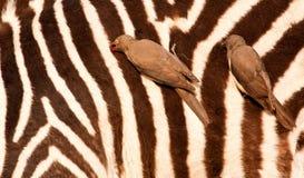 Redbilled-oxpeckers sul corpo della zebra Immagine Stock Libera da Diritti