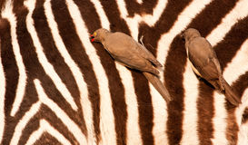 Redbilled-oxpeckers on zebra's body Royalty Free Stock Image