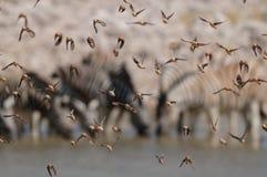 Redbilled-quelea Schwarm in der Luft Lizenzfreie Stockbilder