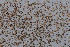 Redbilled-quelea Schwarm in der Luft Stockfotos