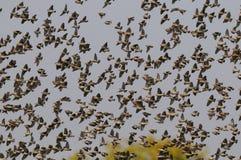 Redbilled-quelea Schwarm in der Luft Stockfotografie