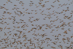 Redbilled-quelea Schwarm im Himmel stockfotos