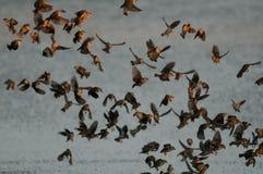 Redbilled-quelea Schwarmfliege oben vom waterhole, lizenzfreie stockbilder