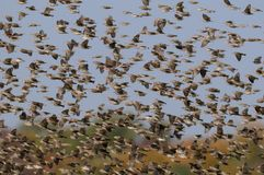 Redbilled quelea swarm in the air Royalty Free Stock Image