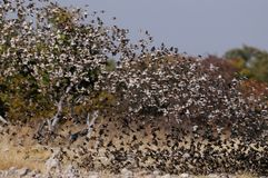 Redbilled quelea swarm in the air Stock Images