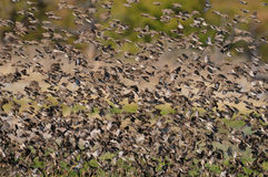 Redbilled quelea swarm in the air Stock Photography