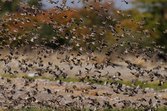 Redbilled quelea swarm fly up Royalty Free Stock Photo
