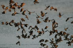 Redbilled quelea swarm fly up from the waterhole, royalty free stock images
