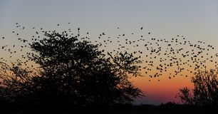 Redbilled quelea swarm flying in the sunset sky royalty free stock image