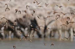 Redbilled Quelea Swarm In The Air Royalty Free Stock Images