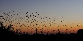 Redbilled quelea swarm at sunset. Quelea quelea, etosha nationalpark, namibia Royalty Free Stock Photos