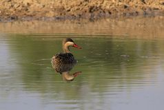 Redbilled Teal at home - African Gamebird Royalty Free Stock Images